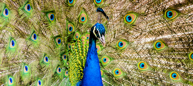 Peacock Displaying - Photo by Mathias Appel