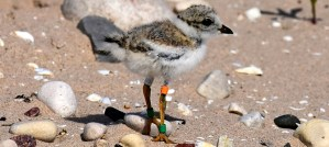Piping Plover Chick With Bands - Photo by Joel Trick