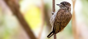 Scaled Piculet - Photo by Fernando Flores