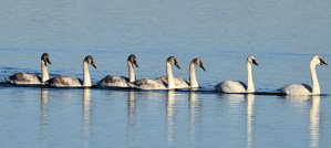 Seven Trumpeter Swans A-Swimming - Photo by Andy Reago & Chrissy McClarren