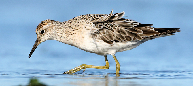 Sharp-Tailed Sandpiper - Photo by patrickkavanagh