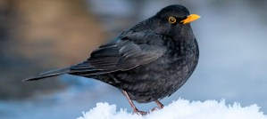 Winter Eurasian Blackbird - Photo by TimOve