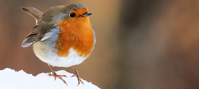 Winter European Robin - Photo by Frank Vassen