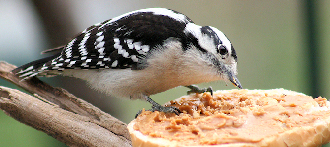 Downy Woodpecker Enjoying Peanut Butter - Photo by Indiana Ivy Nature Photographer