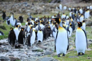 King Penguin Colony - Photo by Liam Quinn
