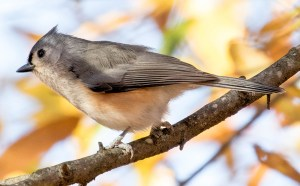 Autumn Tufted Titmouse - Photo by Shawn Taylor