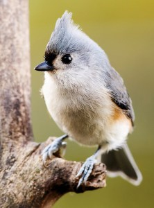 Tufted Titmouse - Photo by NPS | N. Lewis
