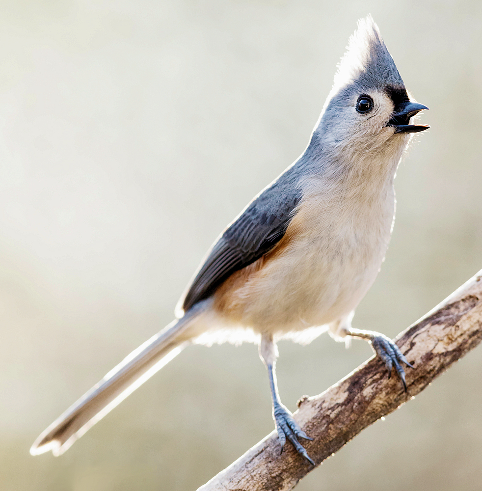 Tufted Titmouse Singing - Photo by NPS | N. Lewis