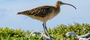 Bristle-Thighed Curlew - Photo by USFWS