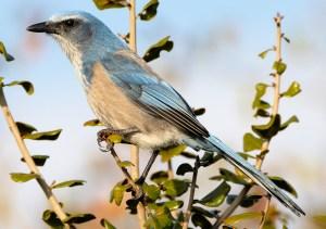Florida Scrub-Jay (Aphelocoma coerulescens) - Photo by Andy Wraithmell
