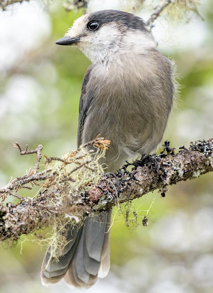 Grey Jay (Perisoreus canadensis) - Photo by Becky Matsubara
