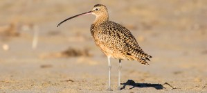 Long-Billed Curlew - Photo by Melissa McMasters