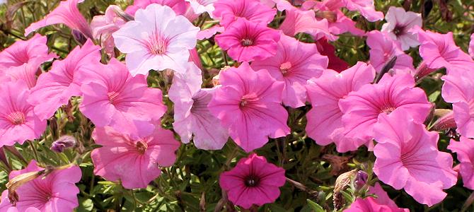 Petunias - Photo by anneheathen