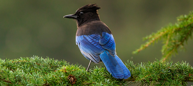 Steller's Jay - Photo by Sandy Hill :-)