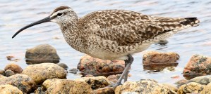 Whimbrel - Photo by Silver Leapers