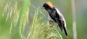 Bobolink - Photo by Laura Wolf