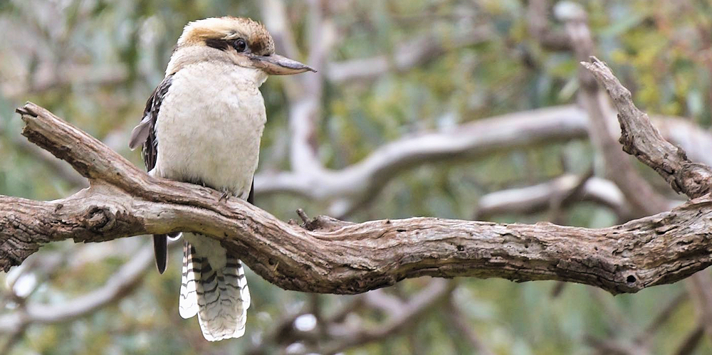 Laughing Kookaburra - Photo by Dorothy Jenkins