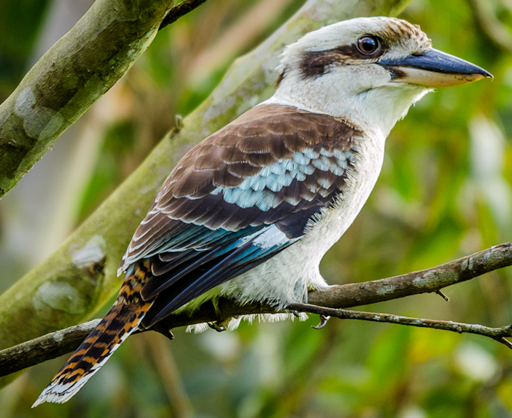 Laughing Kookaburra - Photo by James Niland