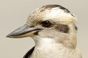 Kookaburra Portrait - Photo by patrickkavanagh