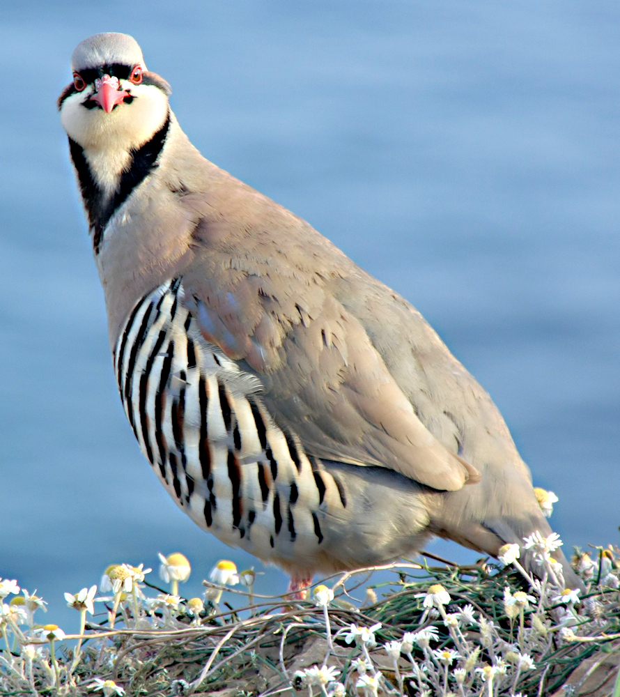Chukar (Alectoris chukar) - Photo by Miltos Gikas