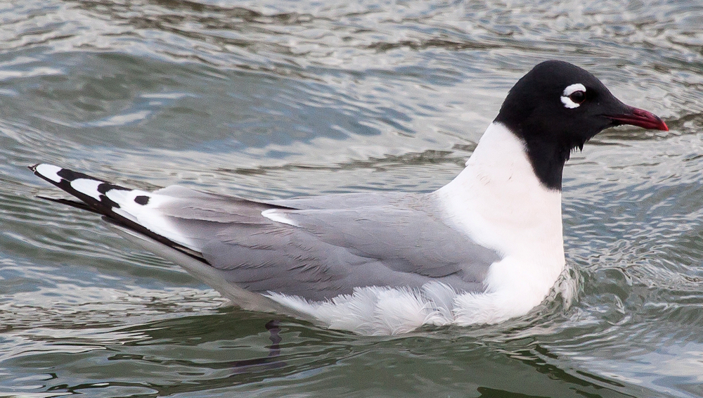 Franklin's Gull (Larus pipixcan) - Photo by David Mitchell