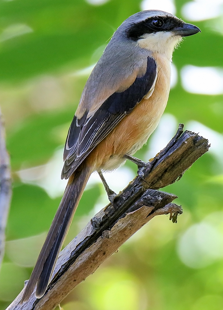 Long-Tailed Shrike (Lanius schach) - Photo by Imran Shah