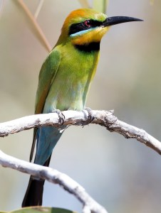 Rainbow Bee-Eater (Merops ornatus) - Photo by Jim Bendon