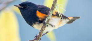 American Redstart - Photo by Becky Matsubara