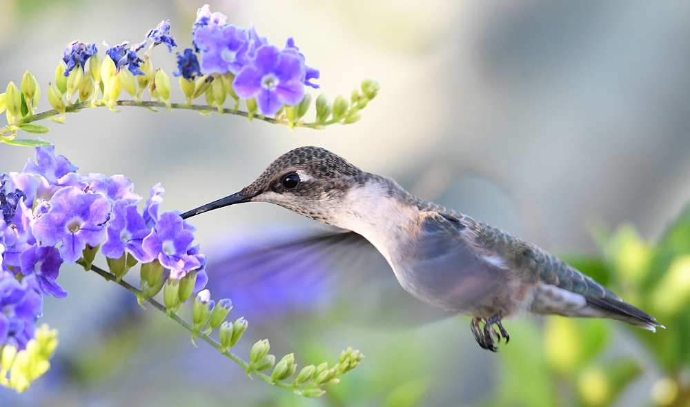 Female Black-Chinned Hummingbird With Her Flowers - Photo by Steve Liffmann