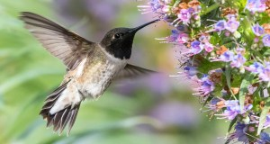 Black-Chinned Hummingbird at Flowers - Photo by Melissa Kung