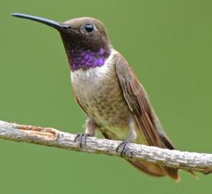 Black-Chinned Hummingbird - Photo by Hemant Kishan / Digital Plume Hunter