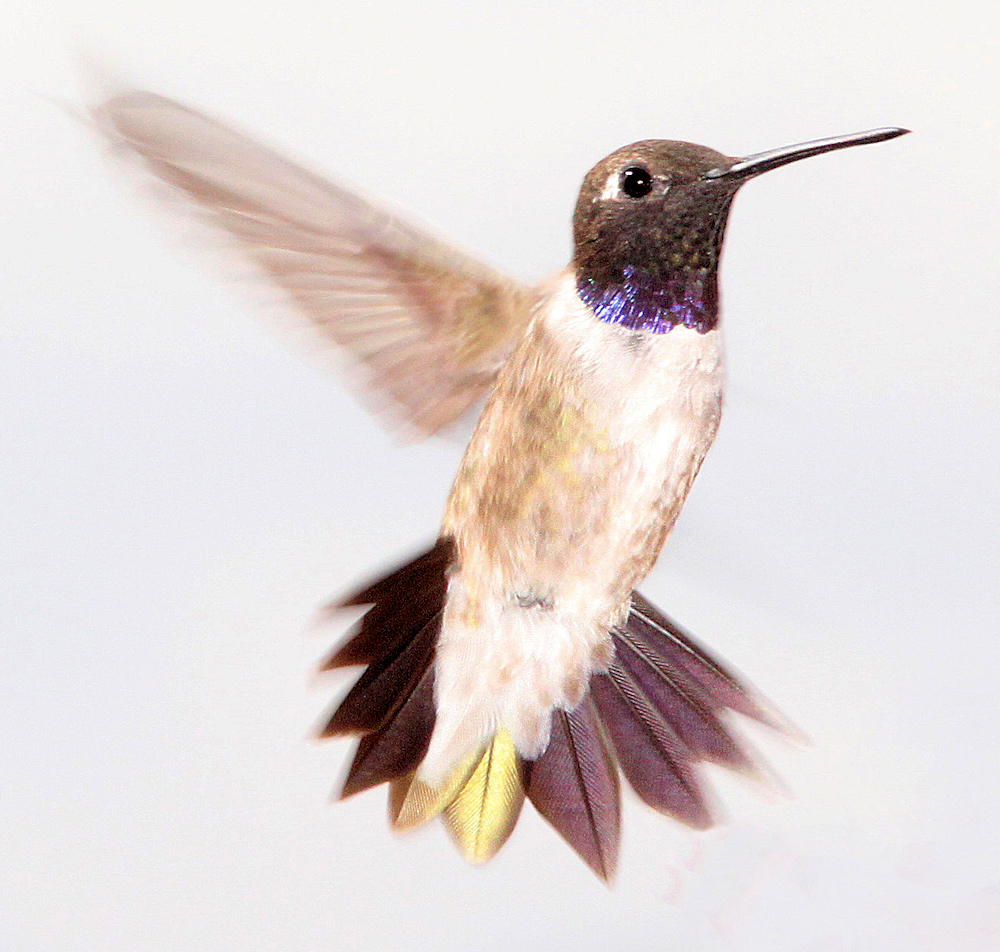 Black-Chinned Hummingbird Portrait - Photo by ALAN SCHMIERER