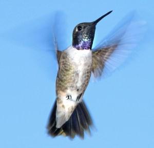 A Flurry of Blurry Wings - Photo by ALAN SCHMIERER