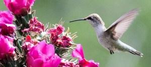 Black-Chinned Hummingbird - Female - Photo by Bettina Arrigoni