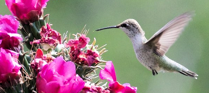 Black-Chinned Hummingbird - Female - Photo by Bettina Arrigoni