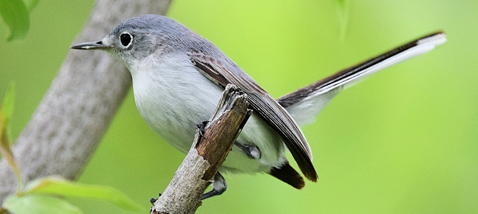 Blue-Gray Gnatcatcher - Photo by Andy Reago & Chrissy McClarren