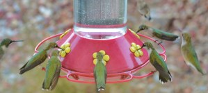 Busy Hummingbird Feeder - Photo by jeffreyw