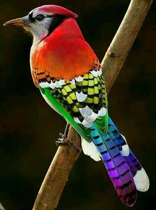 Rainbow Blue Jay - Photoshopped!