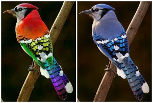 Rainbow Blue Jay and Original Photo