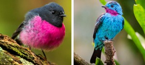 Pink Robin - Photo by Francesco Veronesi / Spangled Cotinga - Photo by Mathias Appel