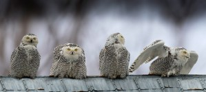 Snowy Owl Montage - Photo Composite by Christian Fritschi