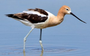 American Avocet - Photo by Tom Koerner/USFWS