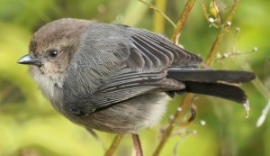 American Bushtit - Photo by Mike's Birds