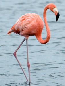 American Flamingo - Photo by Paul Asman and Jill Lenoble