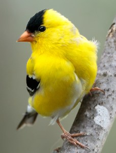American Goldfinch - Photo by NPS | N. Lewis