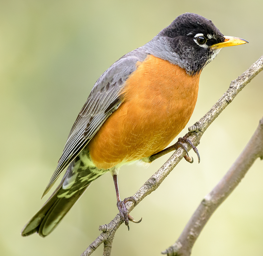 American Robin - Photo by Becky Matsubara