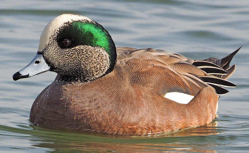 American Wigeon - Photo by Judy Gallagher