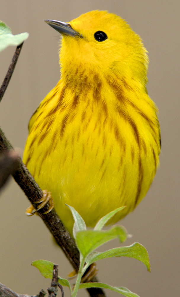 American Yellow Warbler - Photo by Laura Gooch