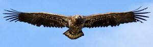 Juvenile Bald Eagle - Photo by Brett Elliot