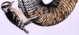 Downy Woodpecker on a Peanut Feeder - Photo by fishhawk